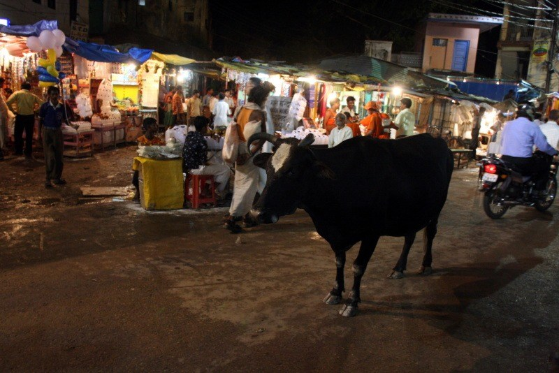 india-cow-IMG_6567