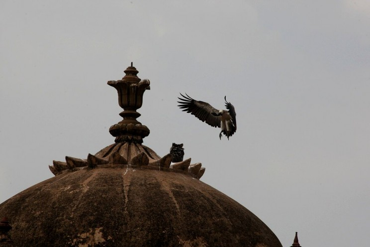 Sępy wpałacu Jahangir Mahal wOrchha