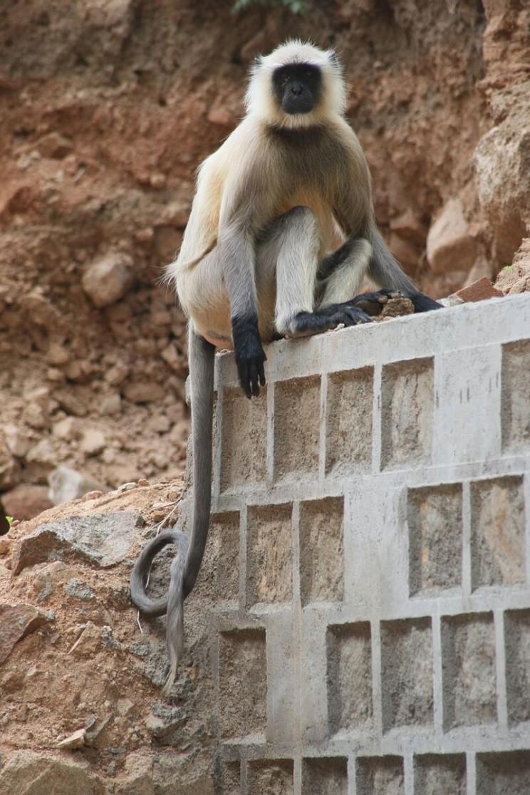Małpy wpałacu Jahangir Mahal wOrchha