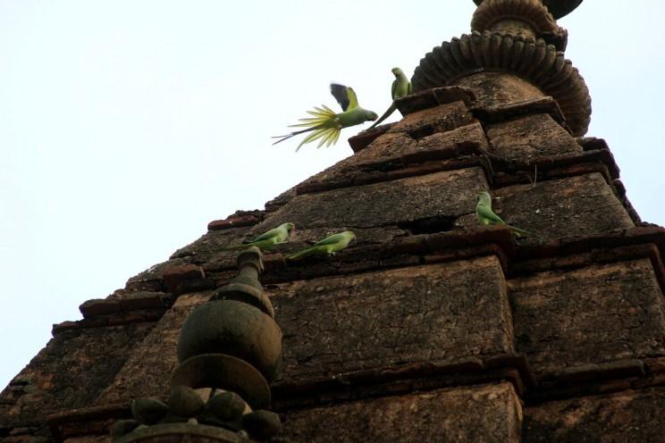 Zielone papugi wChaturbhuj Mandir wOrchha