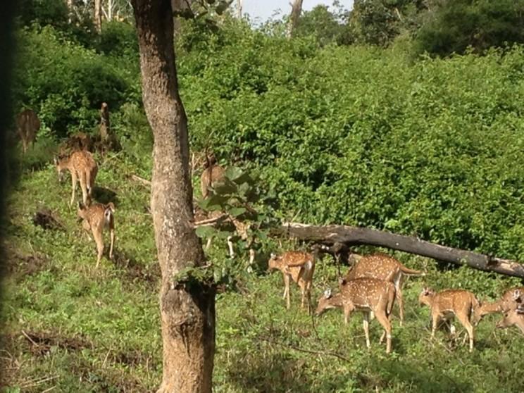 Park Narodowy Bandipur (Bandipur National Park), Ooty, Karnataka, Indie Południowe