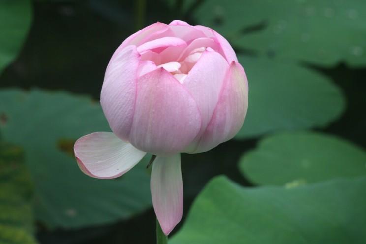 Kwiat lotosu, świątynia Mii-dera, Ōtsu