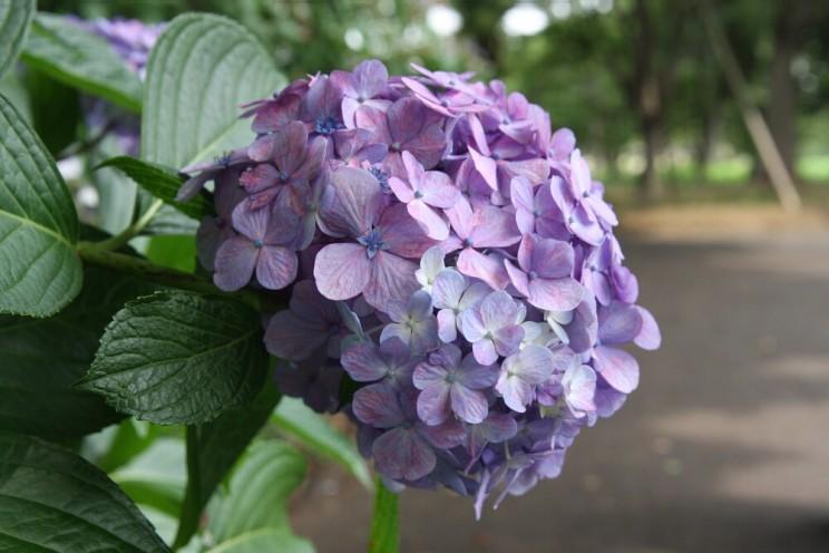 Tokyo Royal Gardens Hydrangea Ajisai