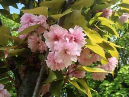 Hanami 2015 – podziwiaj znami sakury wWarszawie