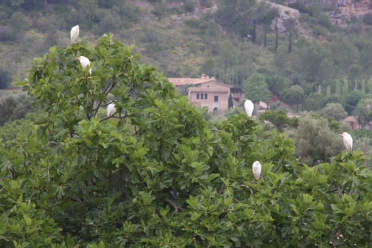 Pomarańczowe gaje Soller, wdolinie Vall de Sóller (Majorka)