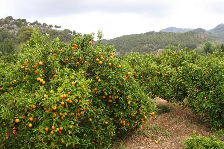 Pomarańczowe gaje Sóller, wdolinie Vall de Sóller (Majorka)