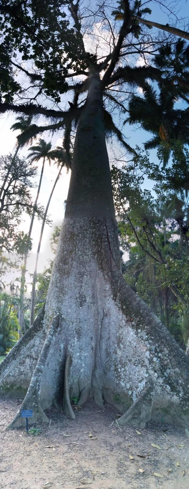 Niesamowite drzewo wOgrodzie Botanicznym wRio de Janeiro, Brazylia