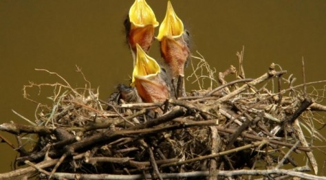 Three birds in nest miniatura