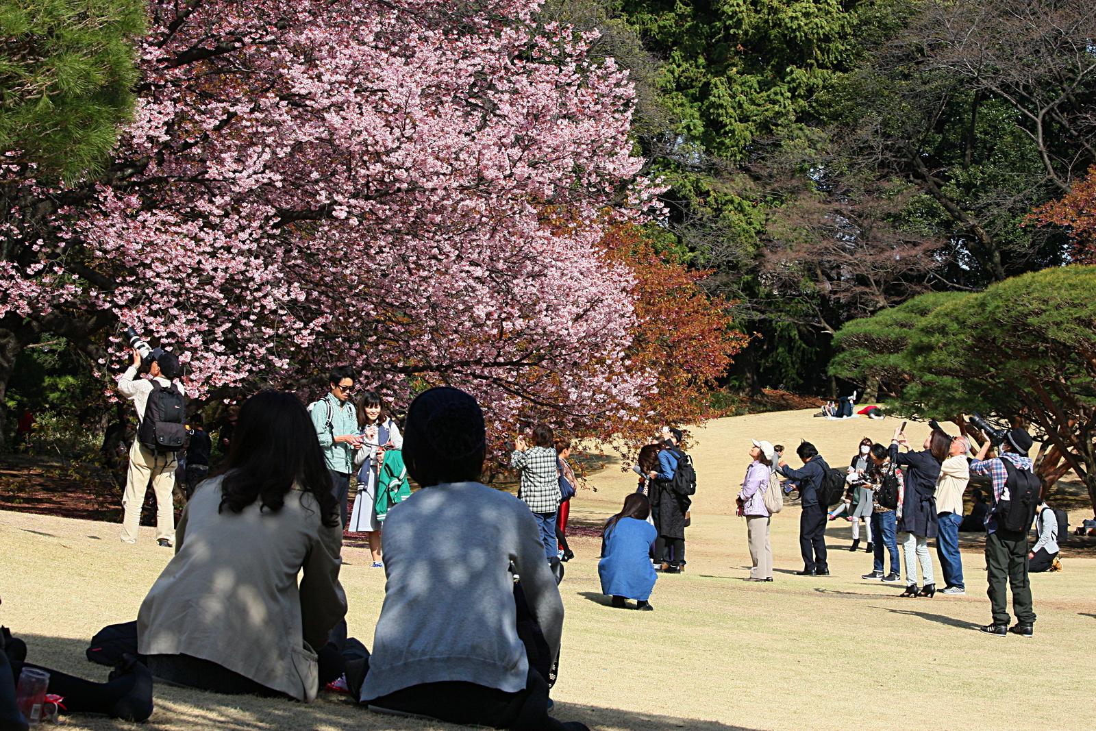 Hanami w Japonii - kwitnące sakury w Japonii, Shinjuku Gyoen, Tokio