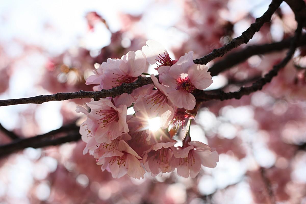 Kwitnące sakury wShinjuku Gyoen Tokio Sakura Hanami 2015