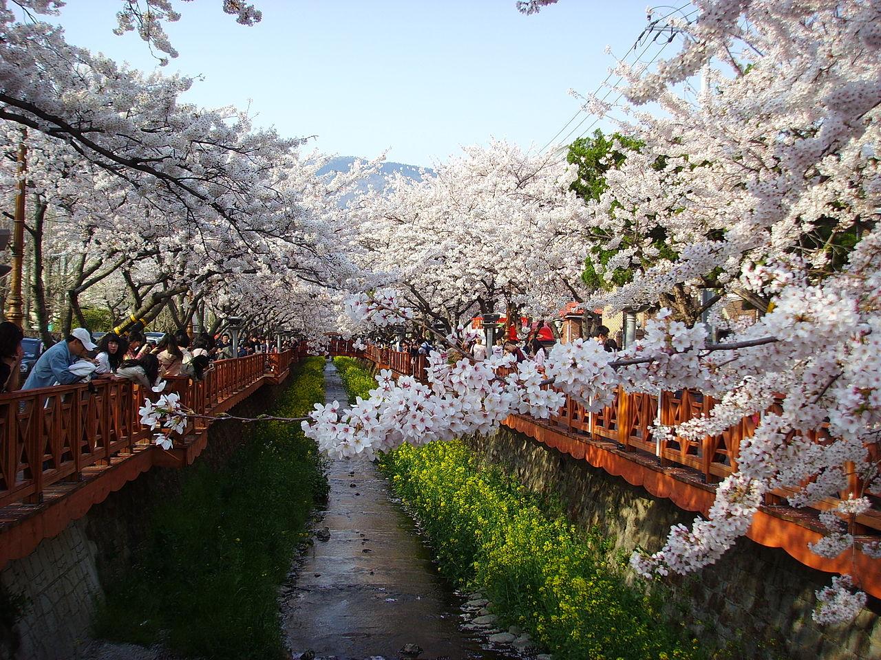 Japonia 2015: Sakury