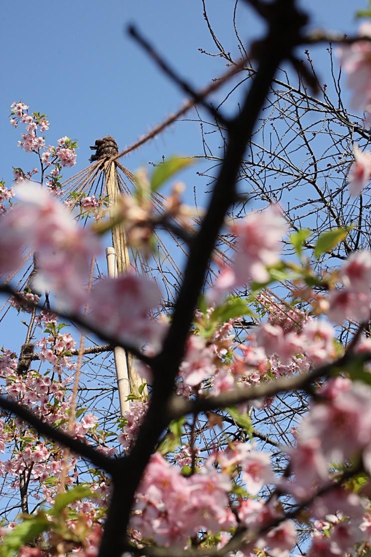 Kwitnące sakury wShinjuku Gyoen Sakura Hanami 2015