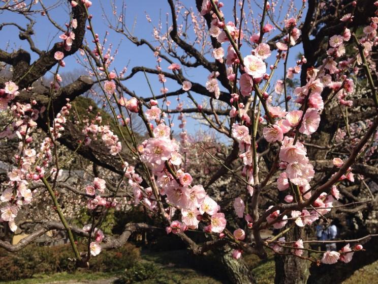 Kwitnąca śliwa (morela japońska), kwitnąca ume, hanami, Shinjuku Gyoen, Tokio