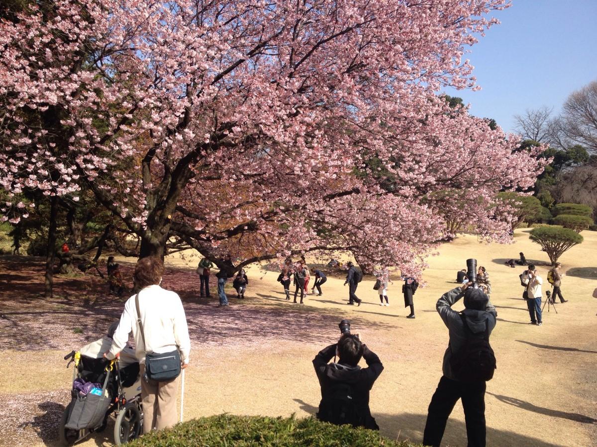 Kwitnące sakury (japońskie wiśnie) wShinjuku Gyoen, Tokio, Japonia
