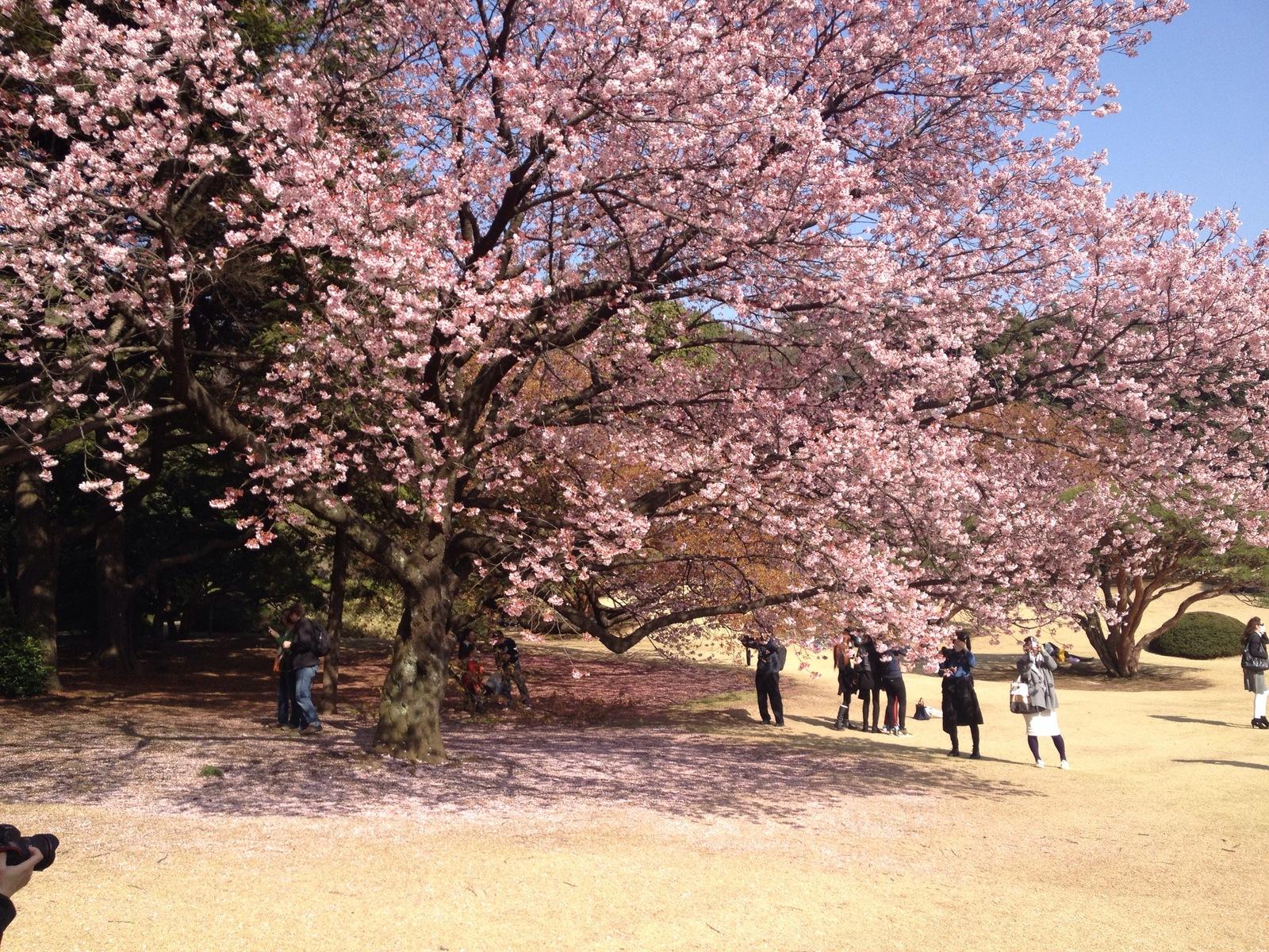 Kwitnące sakury wShinjuku Gyoen (Tokio)