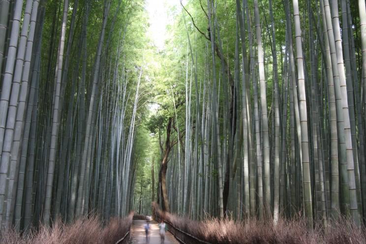 Las bambusowy wArashiyama (Arashiyama Bamboo Grove), Kioto, Japonia