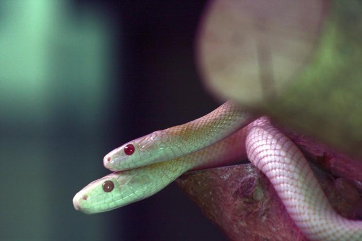 Białe węże wIwakuni, prefektura Yamaguchi, Japonia