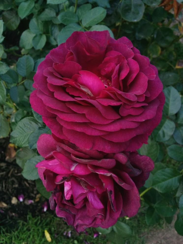 Twilight Zone Grandiflora Rose - Wielkokwiatowa Strefa Mroku