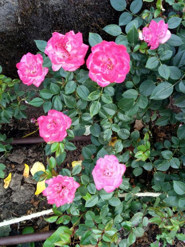 Portland: International Rose Test Garden