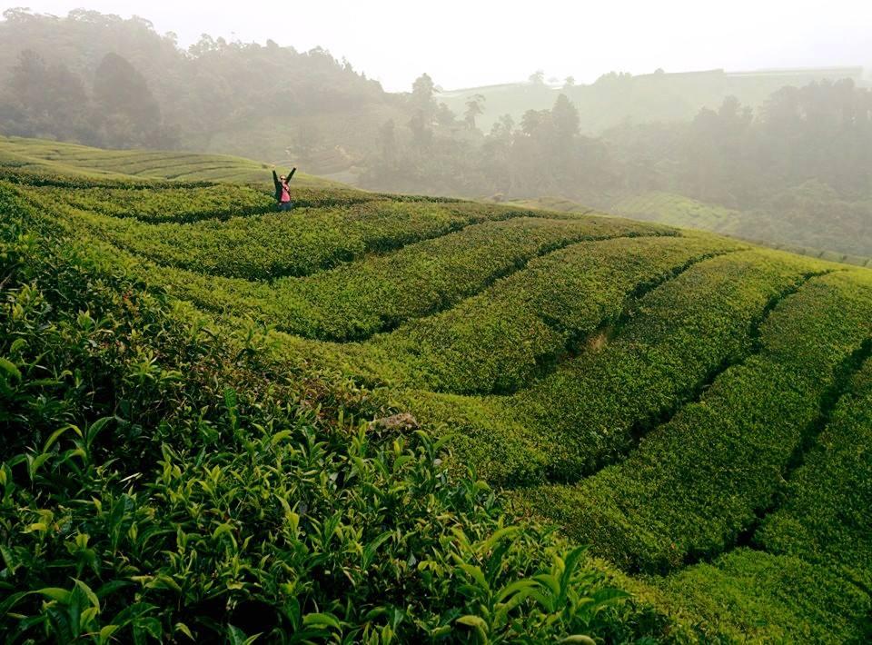Malezja: Cameron Highlands Boh