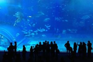 Video zJaponii: Okinawa Churaumi Aquarium