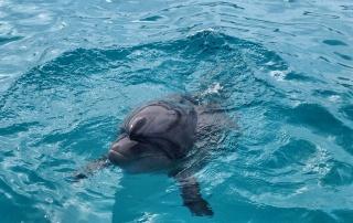 Delfiny wJaponii, Churaumi Aquarium, Okinawa, Japonia