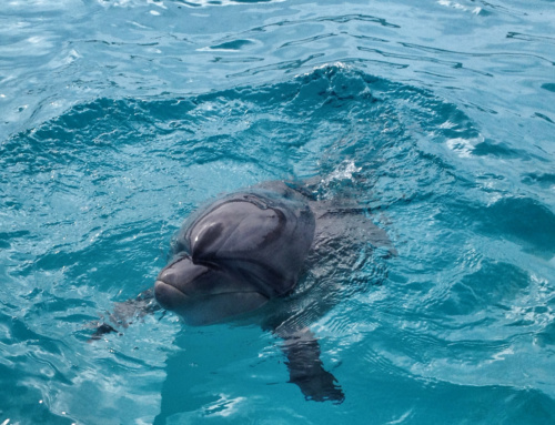 Video zJaponii: delfiny