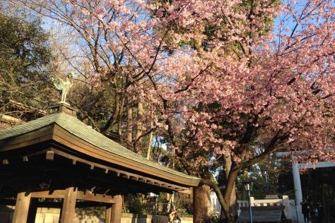 Kwitnące wiśnie, czyli sakury wParku Ueno (sam początek hanami - jeszcze niezdążyli nabałaganić)
