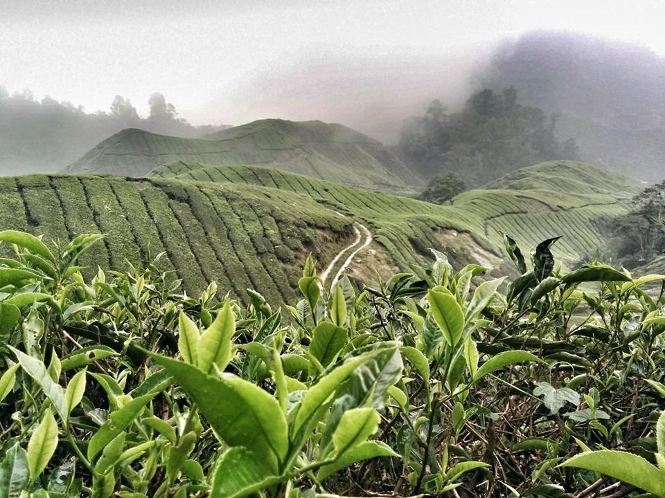 Challenge On Nature Photography: Plantacja herbaty Boh wCameron Highlands wMalezji (październik 2015)