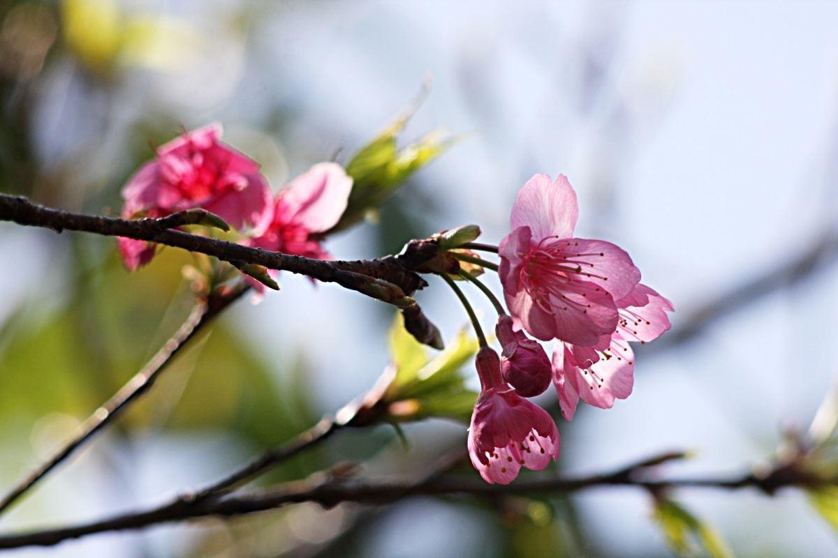 Kwitnące wiśnie sakura wparku przy zamku Shurijō wNaha City, Okinawa, Japonia (luty 2016)