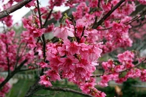 Kwitnąca wiśnia (sakura), kwitnące wiśnie, hanami, Okinawa