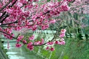 Hanami Okinawa - Kwitnące wiśnie - sakury wNaha, wyspa Okinawa, Japonia