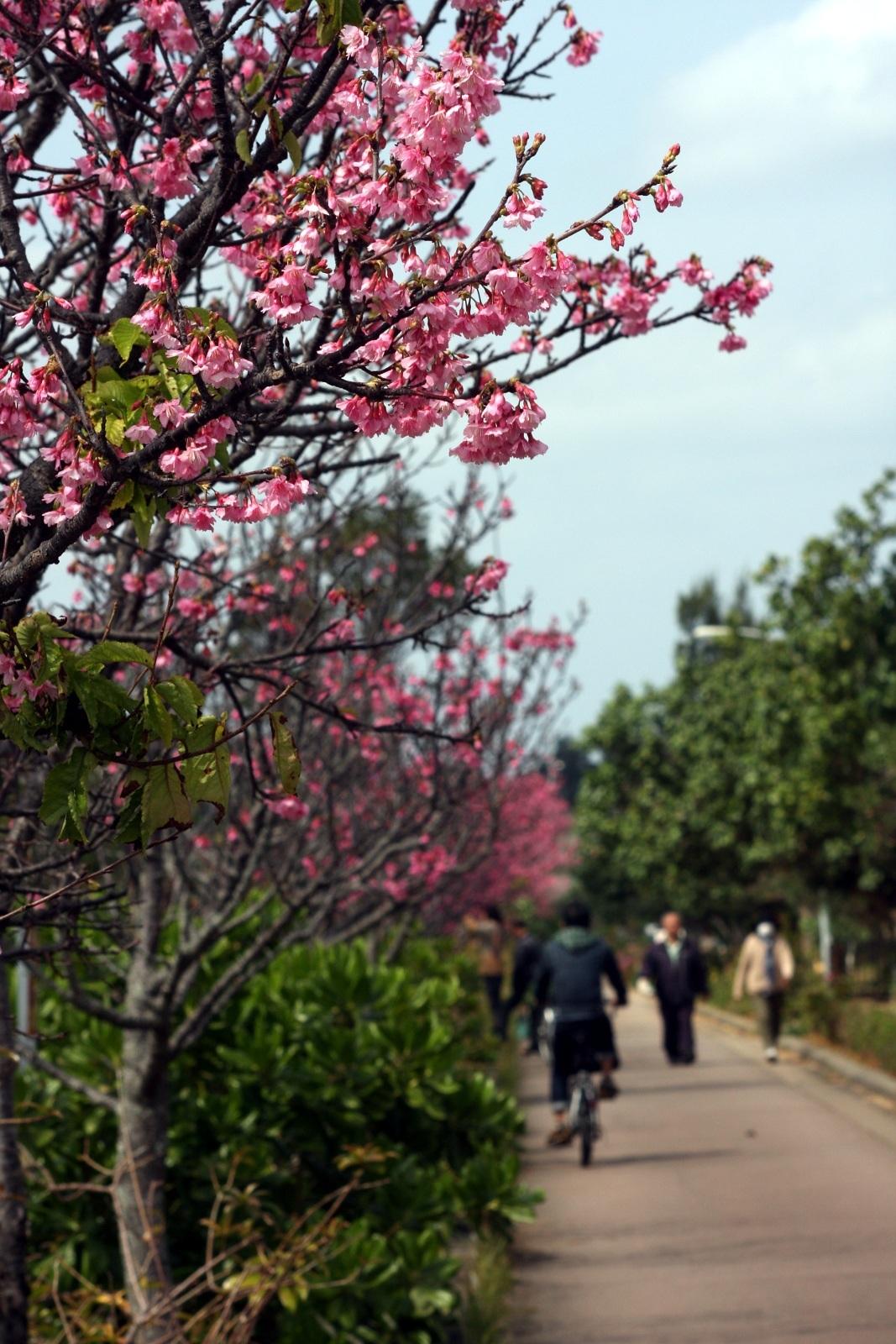 Kwitnące sakury (japońskie wiśnie) wNaha, Okinawa, Japonia