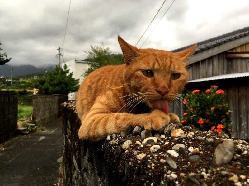 Rudy kot w Miyanoura, Japonia (kocie idiomy w języku japońskim)