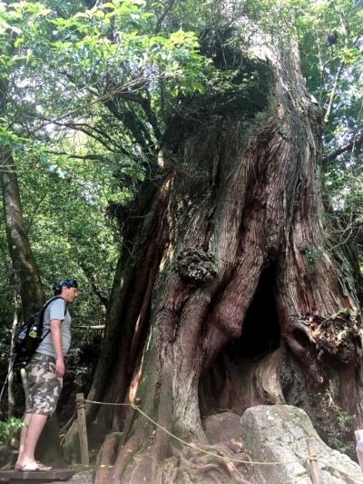 Cedr japoński (yakusuhi) liczący 2000 lat