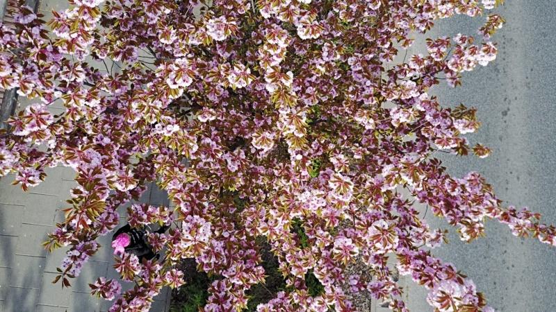 Kwitnące japońskie wiśnie sakury wWarszawie!