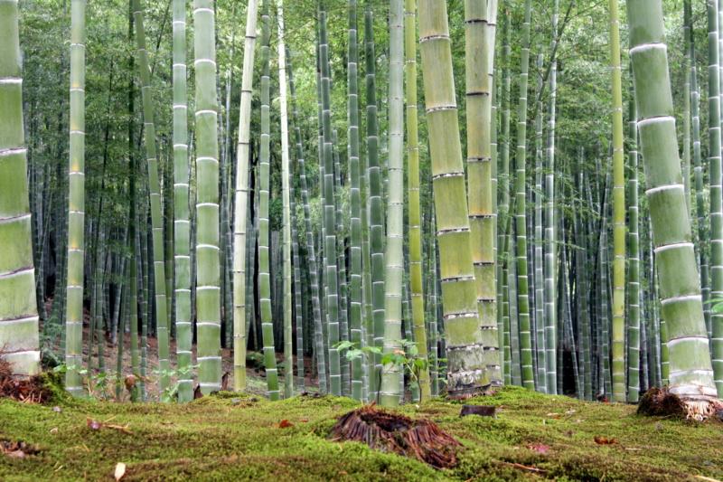 Ciekawe miejsca wJaponii: bambusowy las wArashiyama (Kioto) - widok zogrodów świątyni Tenryu-ji (Kioto)