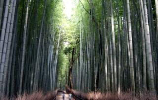 Ciekawe miejsca w Japonii: bambusowy las w Arashiyama (Kioto)