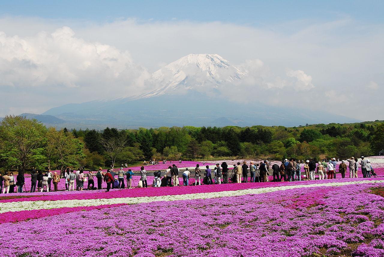 Shibazakura Festival, Mt Fuji